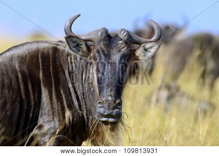 Wildebeest, National Park Of Kenya