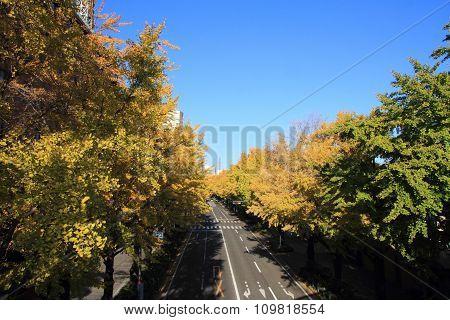 Autumn leaves along Yamashita park avenue
