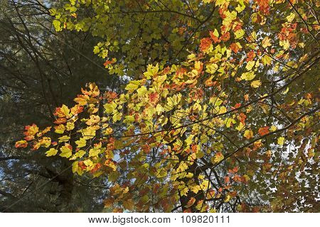 Changing Colors On A Maple Branch