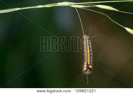 Drinker (Euthrix potatoria) caterpillar
