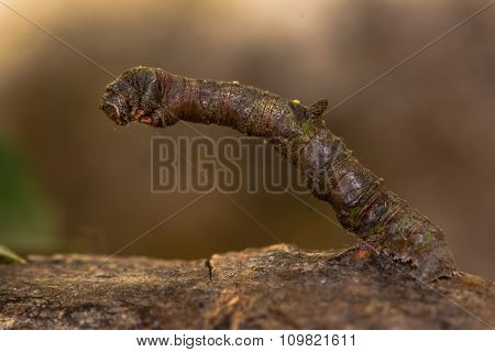 Brimstone (Opisthograptis luteolata) caterpillar
