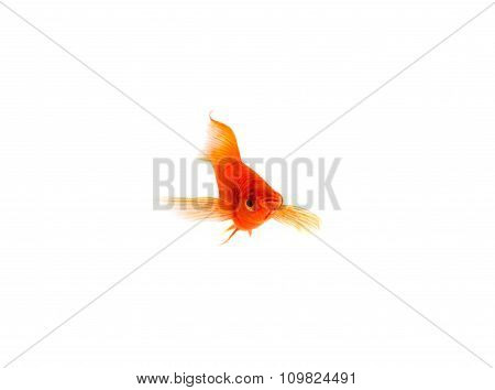 Orange Sword-tail Fish Isolated on White Background