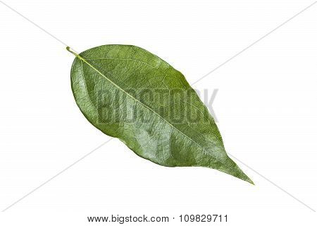 Bamboo Grass Leaf Isolated