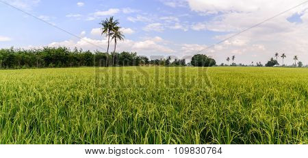 Panoramic View Of Rice Field With Blue Sky, Suphan Buri, Thailand.
