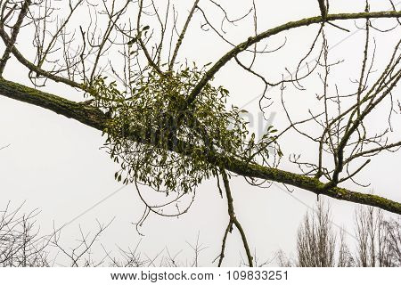 Viscum Album (european Mistletoe, Common Mistletoe, Mistletoe, Old English Mistle)