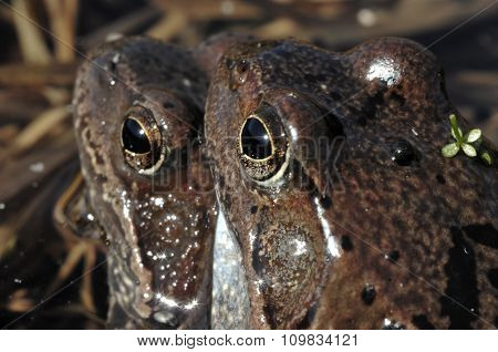 Copulation Of The Common Frog (rana Temporaria) Mating, Also Known As The European Common Frog, Euro