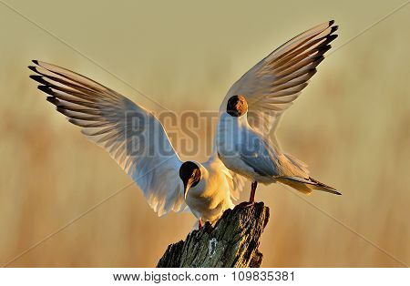 Two Gulls Sitting On A Old Log In Sunrise Light