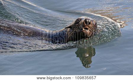 Swimming seal. Cape fur seal (Arctocephalus pusilus).