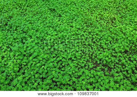 Background image of a green carpet of fresh clovers