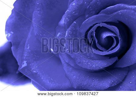 blue rose isolated on white background