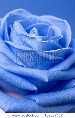blue rose on magenta background