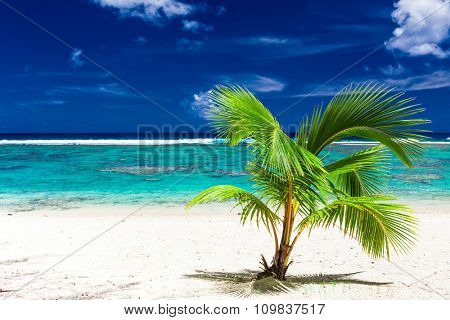Single small palm tree on a sandy Rarotonga beach, Cook Islands