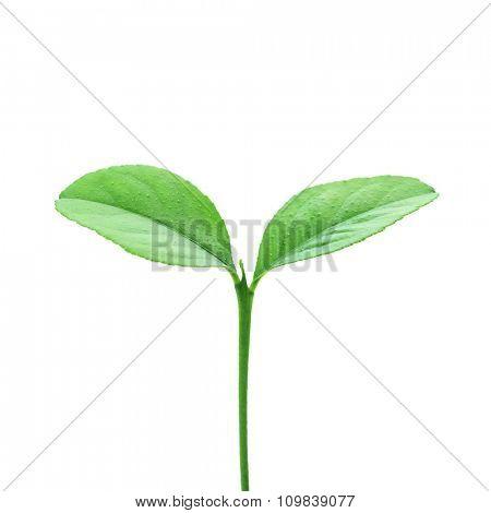 single plant isolated on white