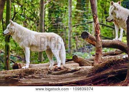 Gray Wolves (canis Lupus) In Its Natural Habitat.
