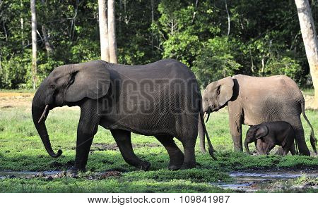 The African Forest Elephants (Loxodonta cyclotis) ( forest dwelling elephant )