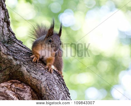 Red Squirrel Against Green Background