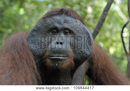 The Adult Male Of The Orangutan In The Bush. Adult Male Of The Orangutan In The Wild Nature.