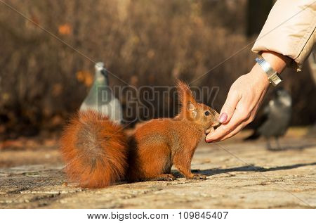 Squirrel Fed From The Hand Of Man.horizontal.