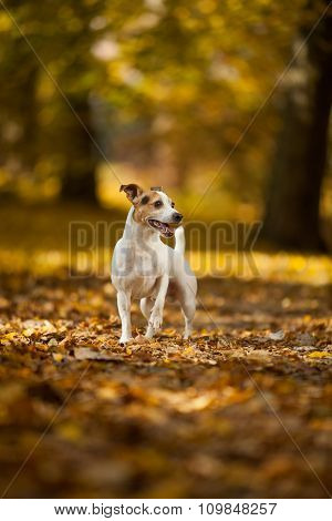 Adorable Jack Russell Terrier In Autumn