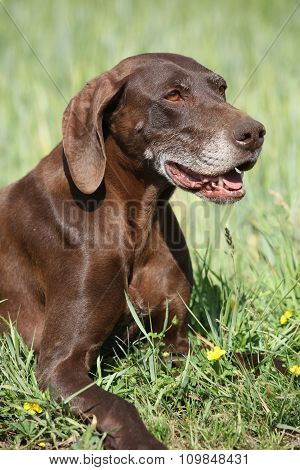 Beautiful dog Of German Shorthaired Pointer