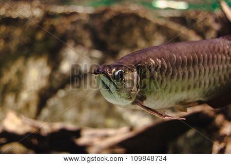Golden Arowana, fish of paradise