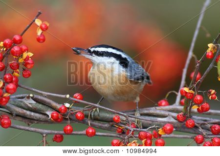 Red-breasted Nuthatch On Bittersweet