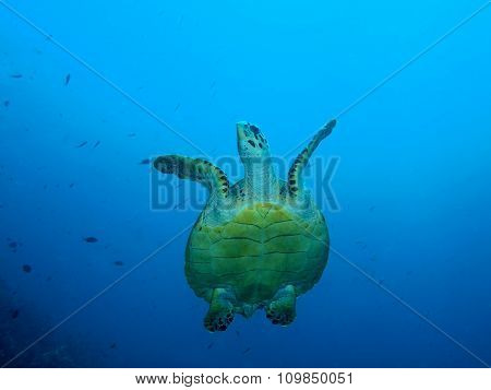 Sea turtle, Island Bali, Pemuteran