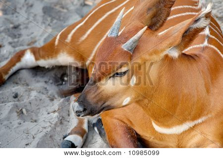 Eastern Bongo with small horns lying down in sand