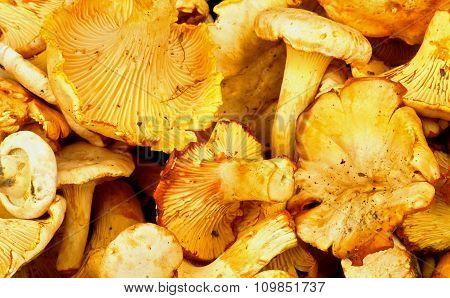 Golden Chanterelles Background