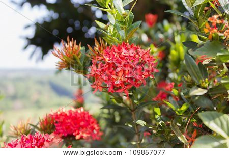 Native Tropical Red Flower Rubiaceae Bunch Tree On Nature Highland Background