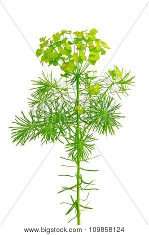 Euphorbia Cyparissias (cypress Spurge) Isolated On White Background