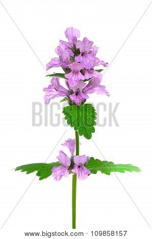 Stachys Officinalis, Purple Betony Flower