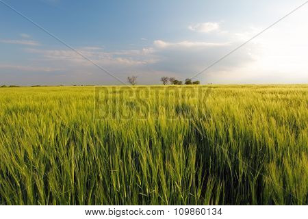 Barley Green Spring Wheat Field - Meaodw