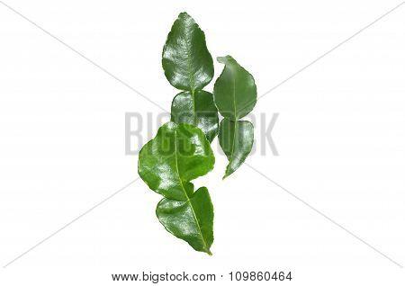 Fresh kaffir lime leaf