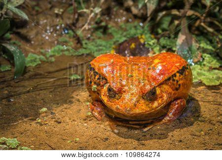 Tomato Frog, Endemic Of Madagascar