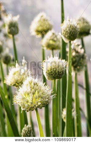 Beautiful Onion Plant, Detail Scene