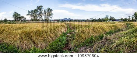 Footpath In The Rice Fields