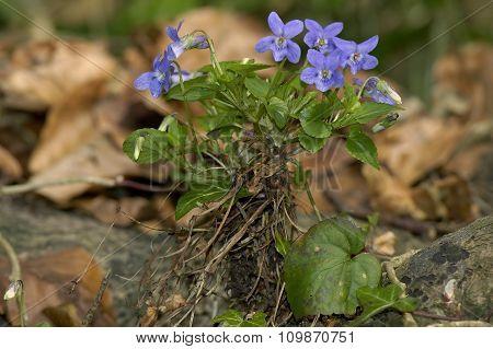 Wood Dog-violet