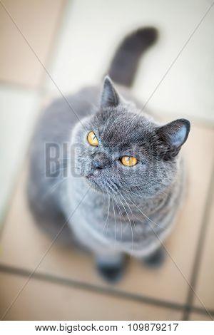 British Cat Looking Up