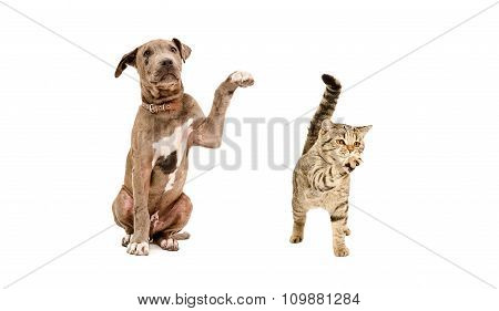 Pit bull puppy and a cat Scottish Straight standing with a raised paw