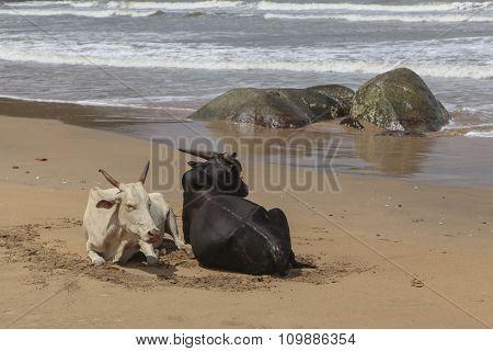 India Agonda Beach Bulls