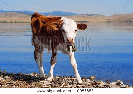 Young Calf Standing Alone At The Water