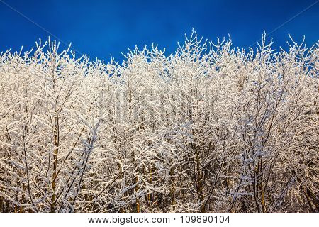 Sunny day at Christmas. Northern Forest in snow