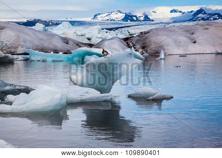 Early morning at the ice lagoon in Iceland. Elegant Bird Goose Branta leucopsis sitting on an ice floe