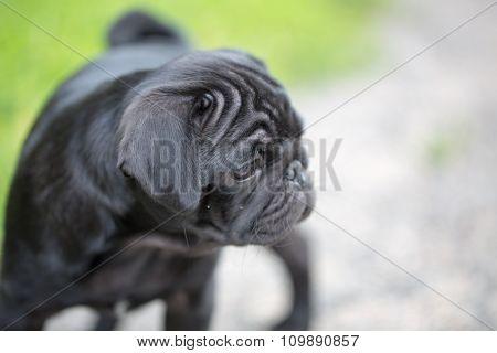A little black pug puppy