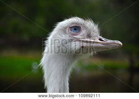 Closeup of Ostrich.