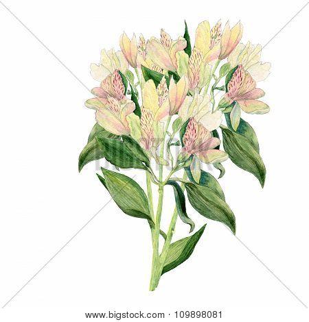 Alstroemeria flowers. Watercolor illustration