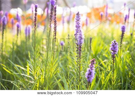 Lavender flowers and sun light in foreground