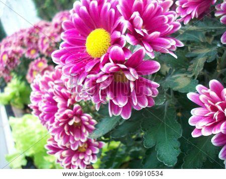 Sand Point Purple Chrysanthemum