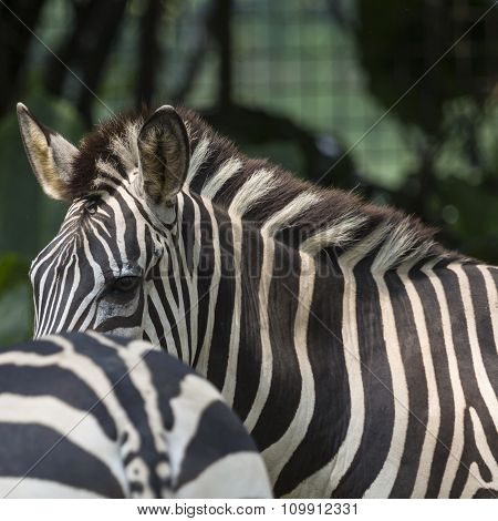 Closeup Portrait Of A Scarred Burchell's Zebra (equus Quagga Burchellii)